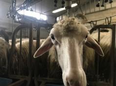 Milked sheep